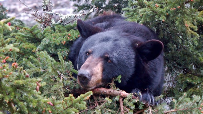 This black bear was in a pine tree.