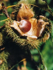 An American chestnut emerges from the spiny bur of