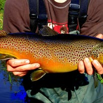 A female brown trout caught in the driftless area