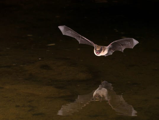 bats are pests - Images Of Bats 2