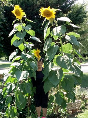 Carole Meadows of Hanover shared this photo of some very tall and beautiful sunflowers in Hanover. She planted and cared for these sunflowers that are now approximately 10 feet tall.