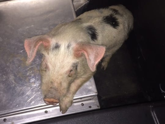 A female piglet was rescued from Interstate 5 on Tuesday night by Oregon State Police troopers.