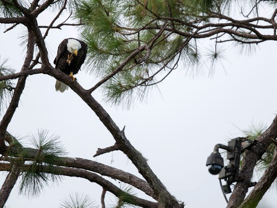 An eagle perches above the Southwest Florida Eagle