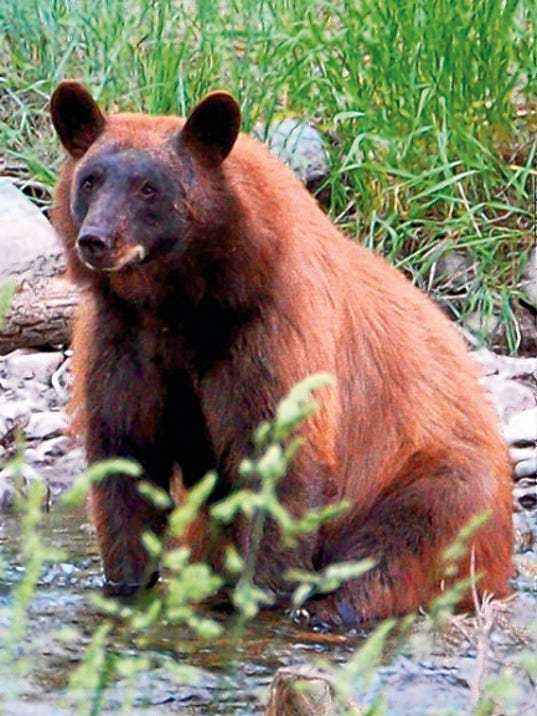 A black bear can be intimidating when encountered unexpectedly. This one is crossing the Rio Ruidoso.