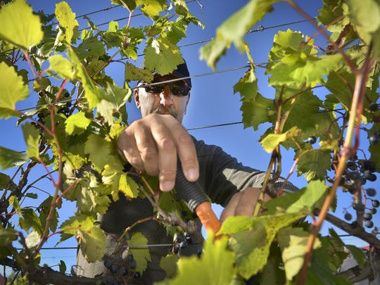 Wes Peters reaches to harvest a bunch of grapes Tuesday
