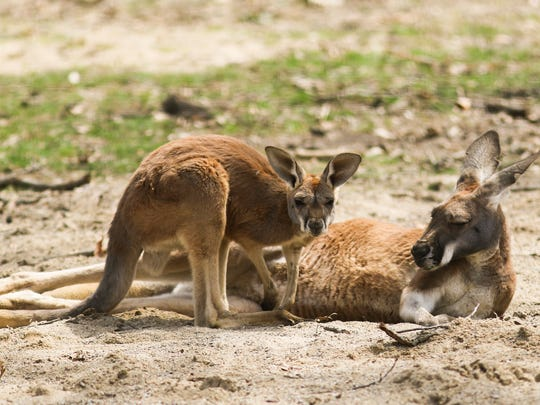 A young red kangaroo, hangs out with adult members