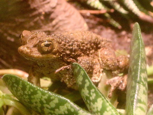 636643968529437530-Puerto-Rican-Crested-Toad-1---Jennie-Miller.JPG