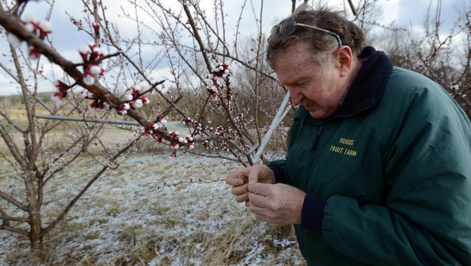 Ralph Hugus, owner of Hugus Fruit Farm in Richland Township, opens up an apricot blossom to see if Thursday night's freezing temperatures killed the budding fruit. Hugus said all of the fruit trees on his property are about a month ahead of their usual flowering cycle because of the warm winter weather. Frosts and freezing temperatures have already damaged part of Hugus' apricot and plum crop, and further frosts could damage the crop even more.