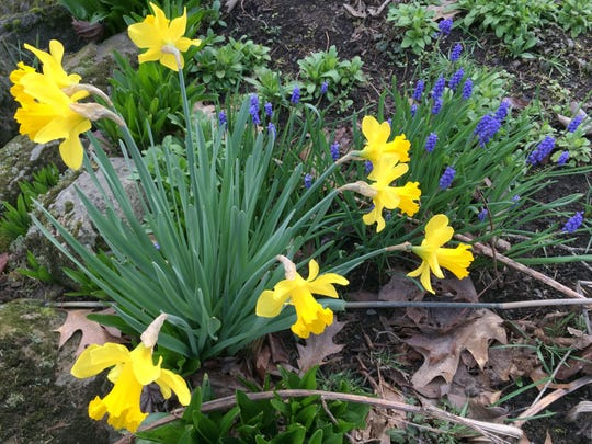 Daffodils mixed with grape hyacinth provide color to landscapes during the winter season.