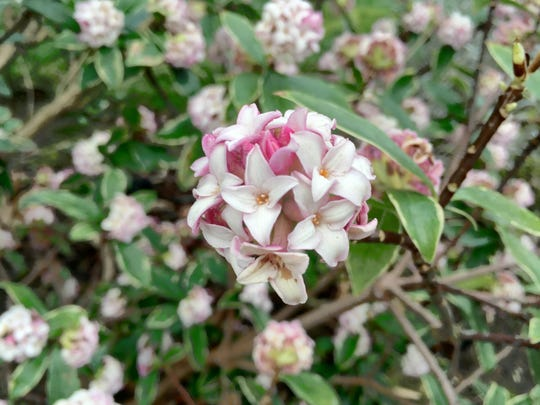 "MulchMaid or winter daphne: typically starts flowering anytime from January to early March. Spring flowers? Why wait? Late winter landscapes in the Willamette Valley yield some colorful textures -- and it's more than just daffodils. Anyone who has endured the enveloping tenacity of an ecru, winter countryside in the Midwest can appreciate the little bits of ""spring"" that pop into Western Oregon's scenery."