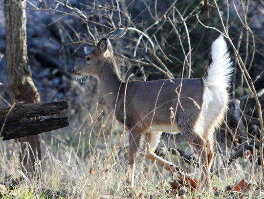White tail deer accustomed to human visitors are frequently