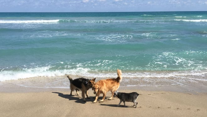 Honey (center) enjoys playing ball at dog-friendly Walton Rocks Beach with canine friends Jazz (left) and Bunny (right.)