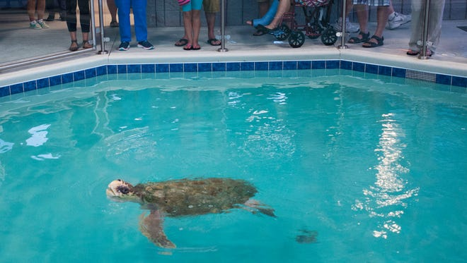 Visitors at the Navarre Beach Sea Turtle Conservation Center on Navarre Beach watch Gigi, the resident sea turtle as she swims around her tank Tuesday morning.