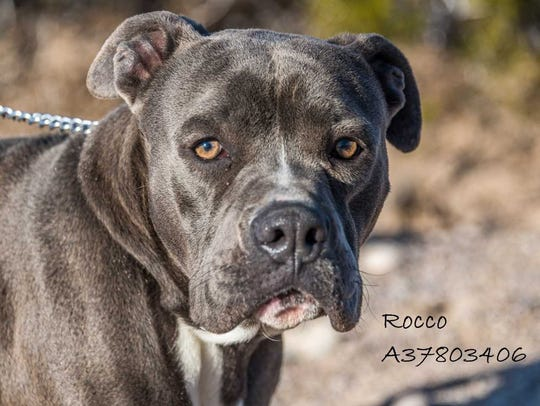 Rocco - Male pitbull mix, adult. Intake date:  2/7/2018