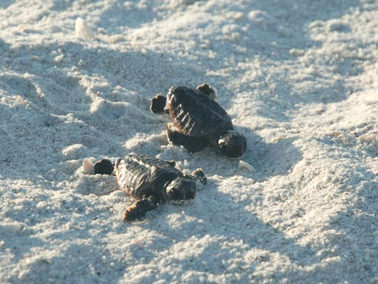 Turtle nesting season runs from May 1 to Oct 31. The young will hatch in 55-65 days.