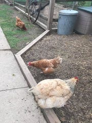 The Vandewaters have 18 chickens in their backyard;