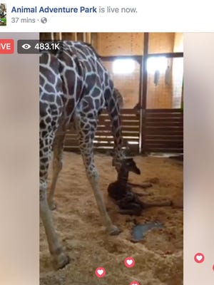 April the giraffe with her new baby calf shortly after she gave birth Saturday morning.