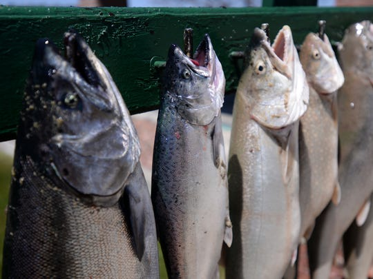 Two chinook salmon hang next to lake trout on Thursday, May 19, 2016 at the Pentwater Municipal Marina in Pentwater, Mich. after a Sportsmen Sportfishing Charters fishing trip.