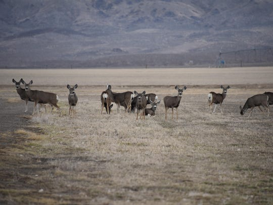 A herd of deer pause to graze at the Rafter 7 Ranch Sunday afternoon.