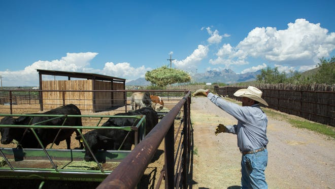 Jake Montoya, Livestock foreman at the New Mexico Farm and Ranch Heritage Museum, tosses hay into a feed trough, Monday Aug. 7, 2017. Montoya says they work with the animal extensively petting them and talking to them so they get used to being around the people that work at the museum. Keeping the animals used to people helps both the cowboys and the animals safe during the times of the year that the cattle get vaccination and de-wormed.