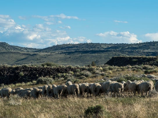Sheep grazing in the Buffalo Hills Wilderness Study