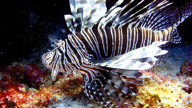 A lionfish swims near coral off the Caribbean island of Bonaire.
