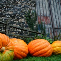 Monster pumpkins ready for annual Chadds Ford tradition