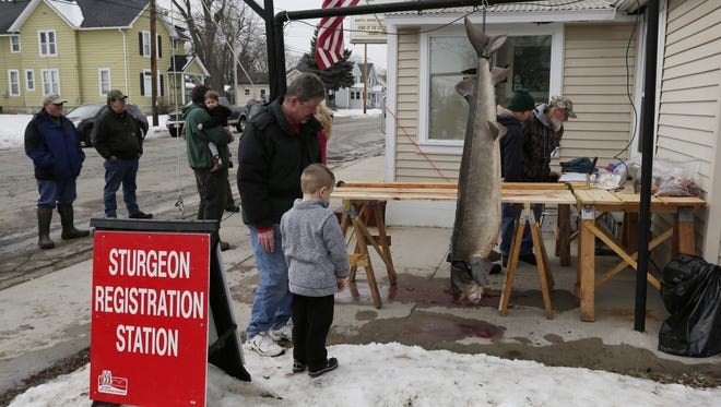 Mason Krueger registers his 146-pound, 73-inch sturgeon in Oshkosh. He harvested the fish on opening day, one of 847 taken this season overall.