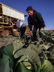 A Hispanic migrant worker maneuvers through a cabbage field near Sturtvant. Agency delays in processing visas for workers who tend and harvest America's food crops are fast approaching crisis proportions.