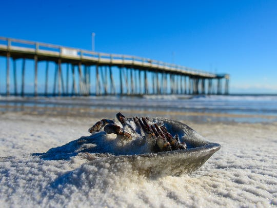 A frozen horseshoe crab as washed up on the beach after