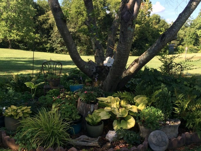 Shade plants thrive beneath a Japanese cherry in Elin Johnson's back yard, despite the rugged 90-degree temperatures. The large yellow hosta near the center of the photo is 'Dandy Lion.' Photos by Susan Alexander/News Sentinel