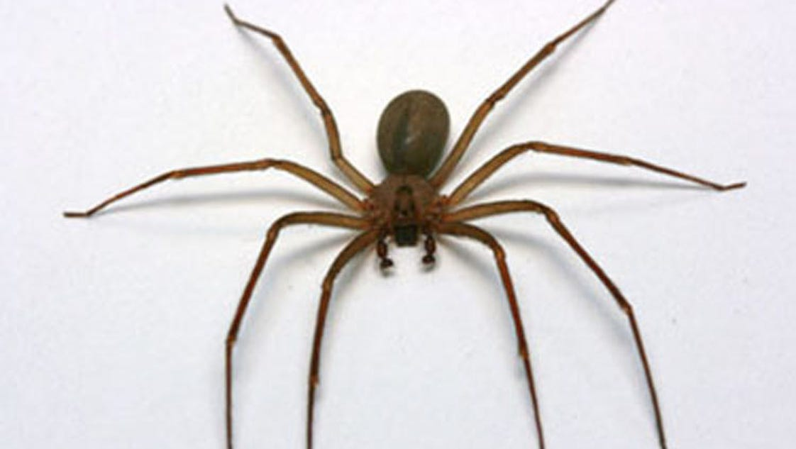 recluse chat Do photographs show the effects of a brown recluse spider bite.
