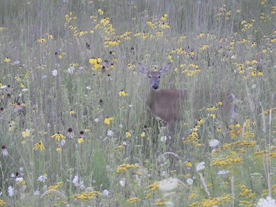636065942968020225-Deer-in-prairie.jpeg