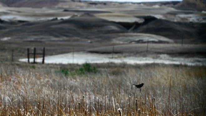 A red-winged black bird perches on reeds on a restored wetland May 26 at of the Navajo Mine Chinde Reclamation area in Fruitland.