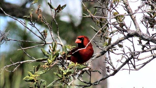 A northern cardinal perches on a branch in Fort Pierce. Reader-submitted photo.