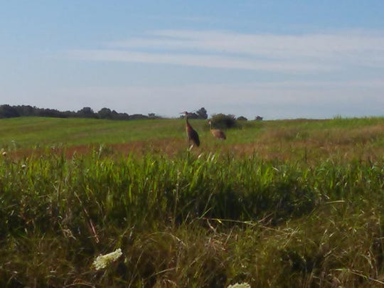 Sandhill cranes on the property along Pavonia East