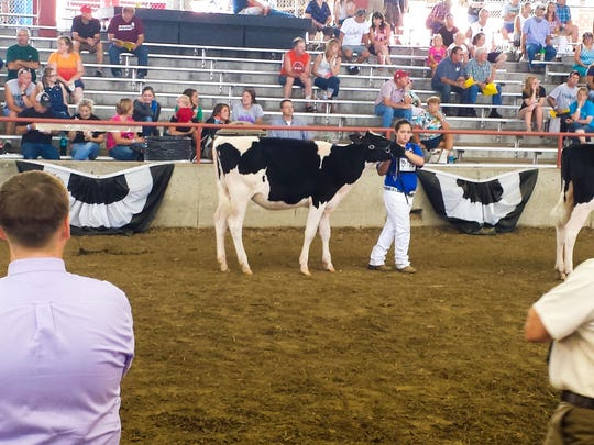 Savanna Ridge, 13, showcases a calf to judges at the Wisconsin State Fair earlier this month.