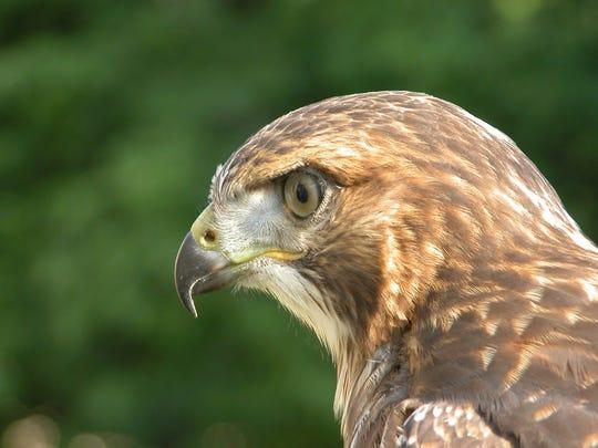 A juvenile red-tailed hawk strikes a menacing pose