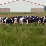 Brittany Vander Kinger rotates approximately 70 pregnant heifers daily among the several paddocks on the 90 acres.