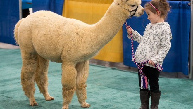 Madison Clauser, age 4, of West Manchester township prepares to compete for the first time during the at the annual Pennsylvania Alpaca Owners & Breeders Association show at the York Expo.
