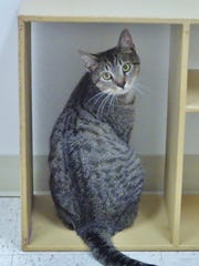 America is a 2-year-old brown tabby boy who came into the shelter as a stray found running around. He might have a little bit of model in him though – look at that over the shoulder look! America will make a really great friend for a special person.
