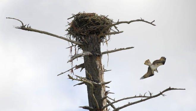 An Osprey leaves it nest near Corvallis.