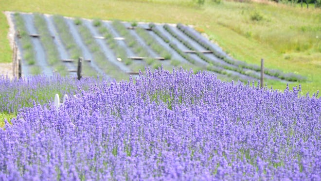The Michigan Lavender Festival returns this week to Blake Farms in Armada.
