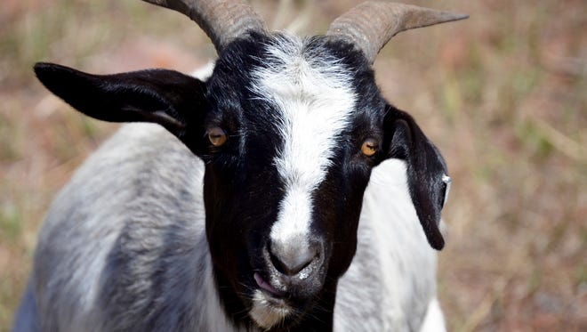 This goat will eat about 25 percent of his body weight each day, according to Green Goat LLC. While grazing on weeds by the Rio Grande Trail, the goats will also till the soil and fertilize it with their manure. (Ryan Summerlin / Glenwood Springs Post Independent via AP)