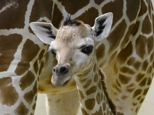 Penny the giraffe euthanized.jpg