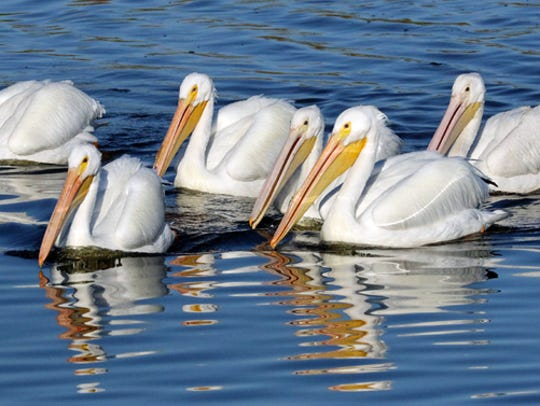 A feeding group of white pelicans moves in unison across