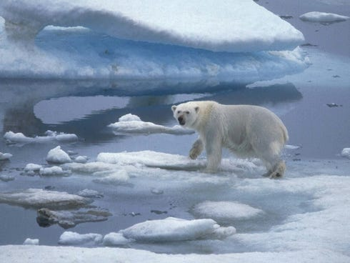 A polar bear on the hunt prowls across ice floes in the Arctic Ocean. T