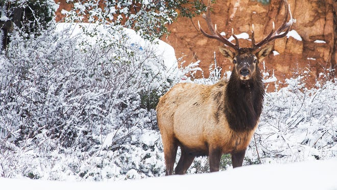An elk takes a break from foraging in a neighborhood in Payson, Monday, December 14, 2015.