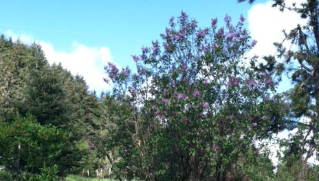 This lilac, with blooms only near the top, could benefit from substantial pruning. After flowering, cut about a third of the largest branching trunks off to ground level. Repeat for two more years.