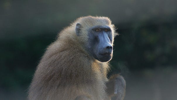 A baboon briefly broke free from his crate and...